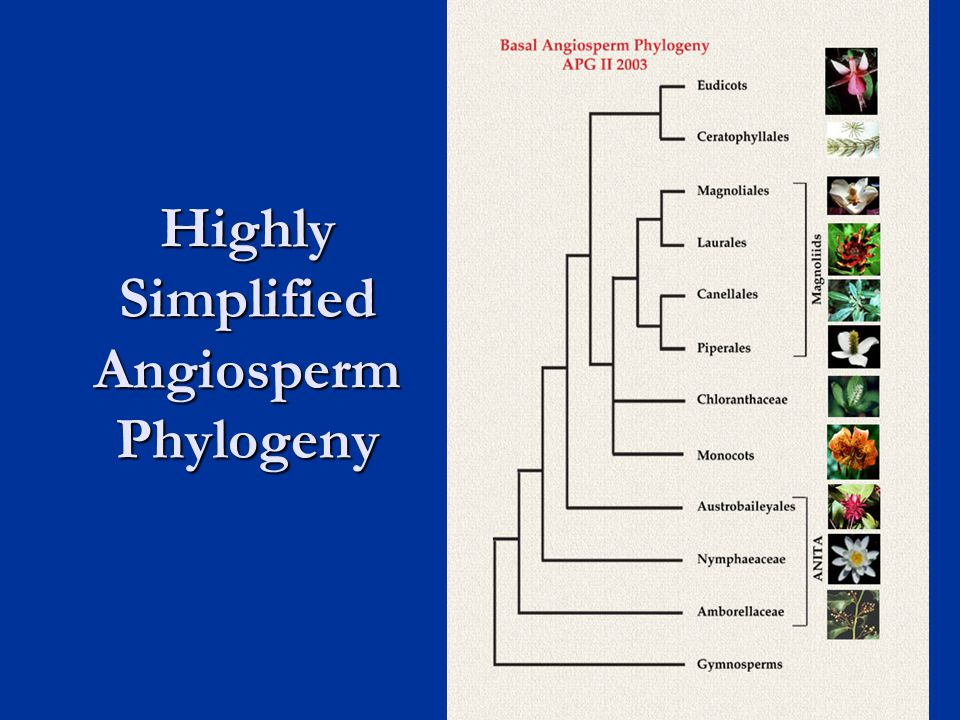 Highly Simplified Angiosperm Phylogeny 17