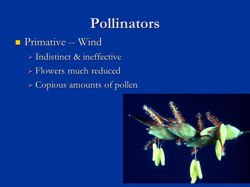 Pollinators Primative -- Wind Primative -- Wind  Indistinct & ineffective  Flowers much reduced  Copious amounts of pollen 29