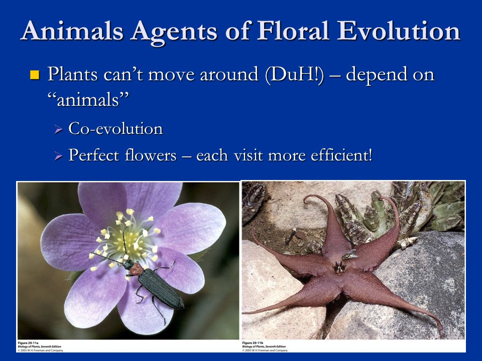 Animals Agents of Floral Evolution Plants can't move around (DuH!) – depend on animals Plants can't move around (DuH!) – depend on animals  Co-evolution  Perfect flowers – each visit more efficient.