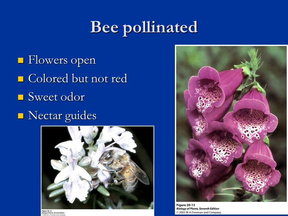 Bee pollinated Flowers open Flowers open Colored but not red Colored but not red Sweet odor Sweet odor Nectar guides Nectar guides 33