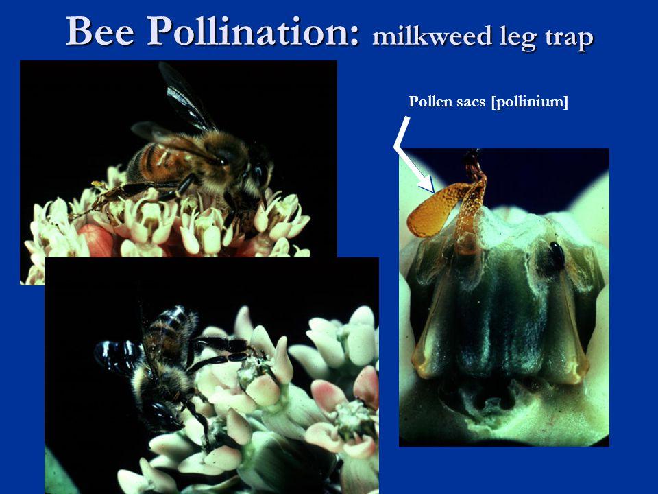 Bee Pollination: milkweed leg trap Pollen sacs [pollinium]