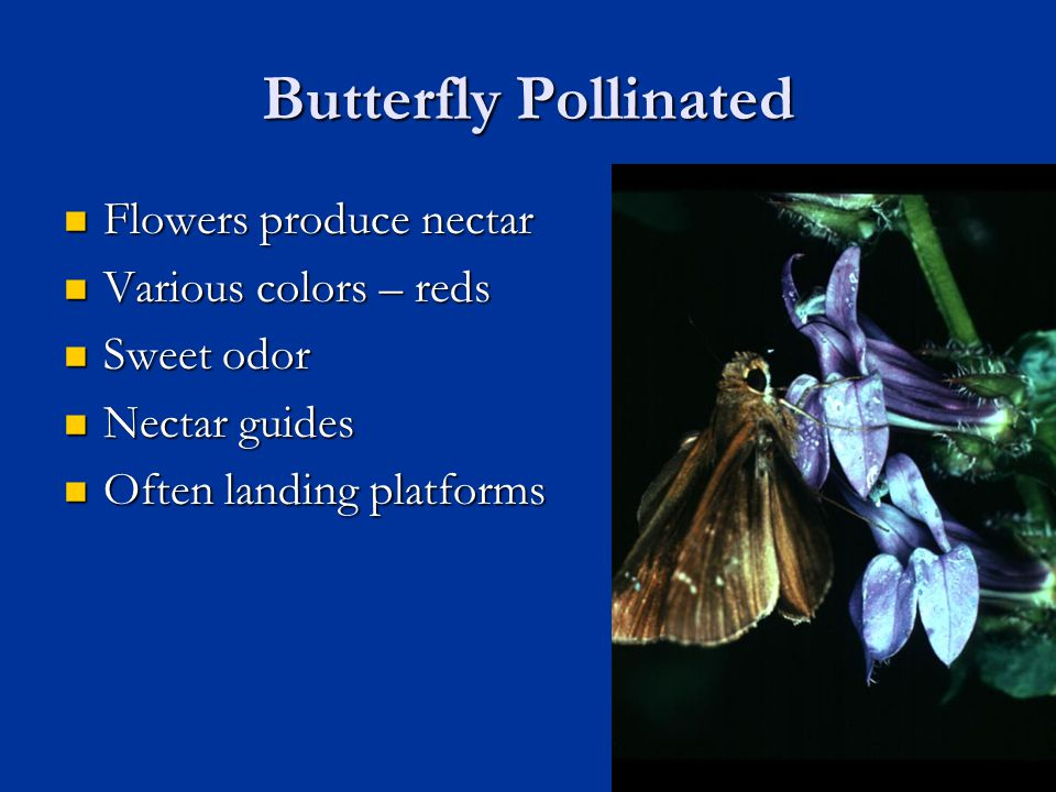 Butterfly Pollinated Flowers produce nectar Flowers produce nectar Various colors – reds Various colors – reds Sweet odor Sweet odor Nectar guides Nec