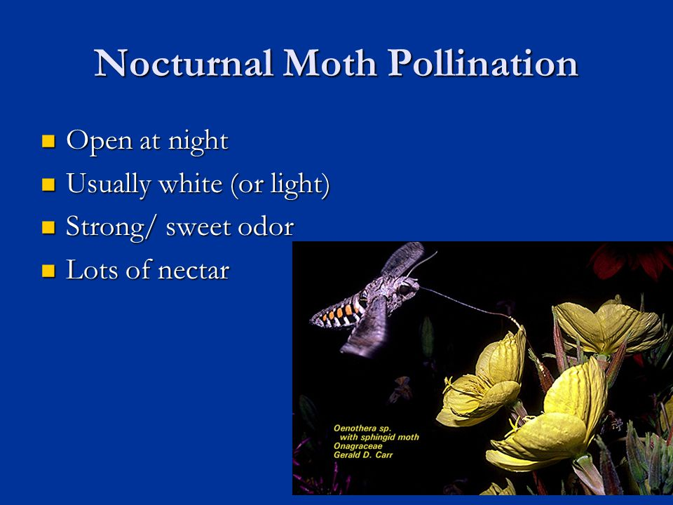 Nocturnal Moth Pollination Open at night Open at night Usually white (or light) Usually white (or light) Strong/ sweet odor Strong/ sweet odor Lots of