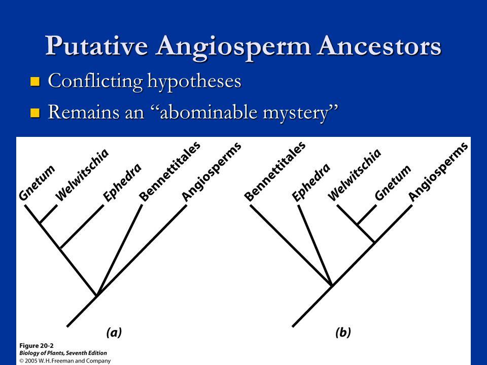 Putative Angiosperm Ancestors Conflicting hypotheses Conflicting hypotheses Remains an abominable mystery Remains an abominable mystery 5