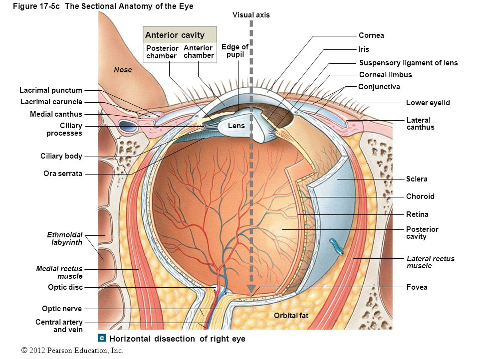 © 2012 Pearson Education, Inc. Figure 17-5c The Sectional Anatomy of the Eye Lacrimal punctum Nose Lens Edge of pupil Visual axis Anterior cavity Post