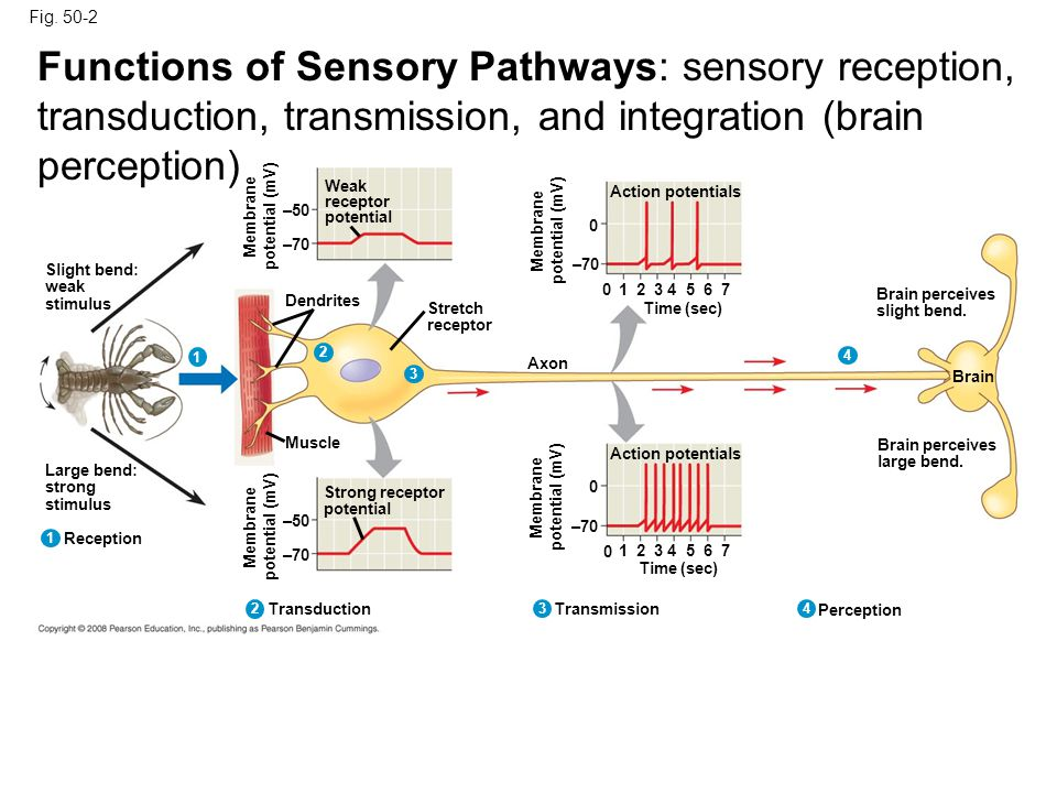 Sensory Receptors : Transduce Stimuli into Action Potential Classification of Receptors: Pain (nociceptors) receptors – inflame/damage tissues Thermoreceptors – change in temp., hot or cold Mechanoreceptors – change in pressure or fluid movement; touch, pressure, stretching of muscles, motion, sound Chemoreceptors – change in odor and taste Electromagnetic receptors – electricity, magnetism, and light (photoreceptors ) Receptors for General senses: a)Pain - free nerve endings b)Temperature –Ruffini (hot); Kraus End Bulb (cold) c)Crude (light) touch - Meissner's corpuscle d)Proprioception (deep touch and pressure) -pacinian corpuscle Receptors for Special senses: a)Vision – rods and cones b)Audition – organ of corti c)Vestibular – maculae, cristae d)Olfaction- olfactory cell e)Gustation- taste bud