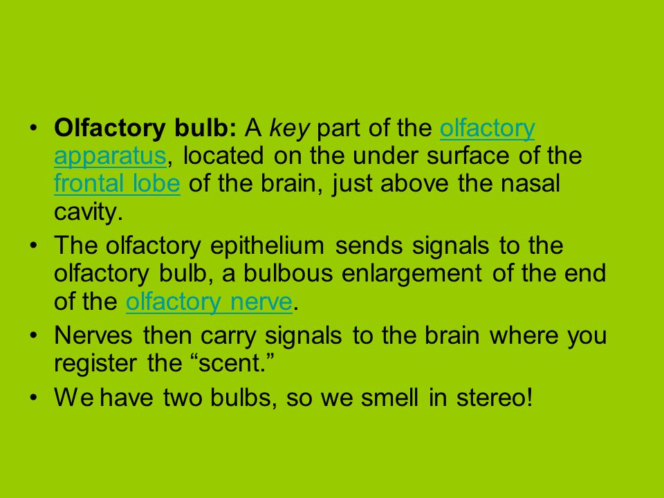 Olfactory bulb: A key part of the olfactory apparatus, located on the under surface of the frontal lobe of the brain, just above the nasal cavity.olfa