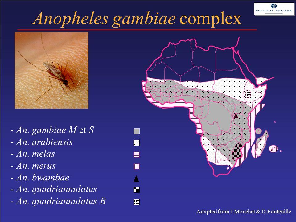 - An. gambiae M et S - An. arabiensis - An. melas - An. merus - An. bwambae - An. quadriannulatus - An. quadriannulatus B Anopheles gambiae complex Ad