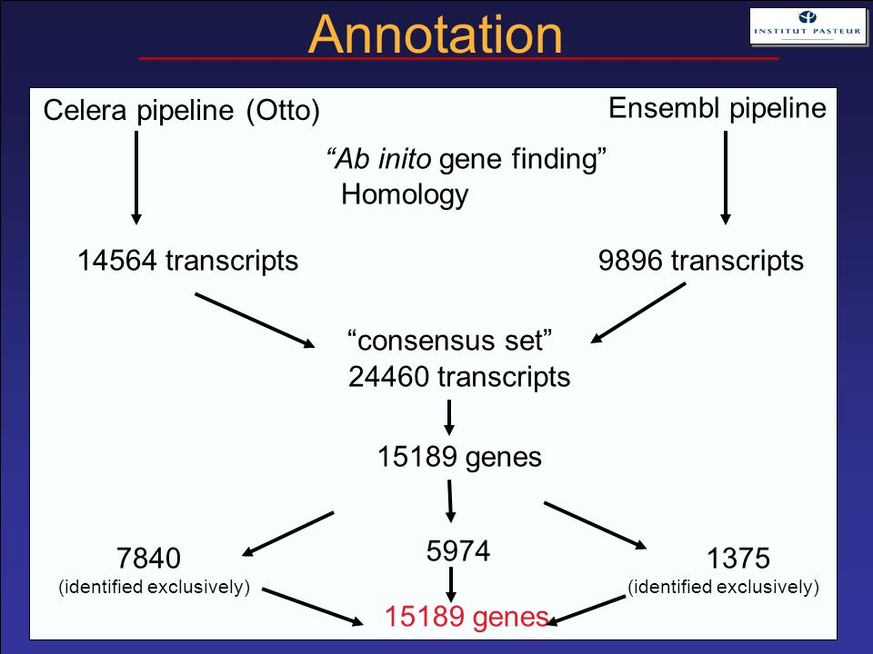 Annotation 15189 genes Celera pipeline (Otto) Ensembl pipeline Ab inito gene finding Homology 9896 transcripts14564 transcripts 24460 transcripts 15189 genes 13757840 5974 (identified exclusively) consensus set