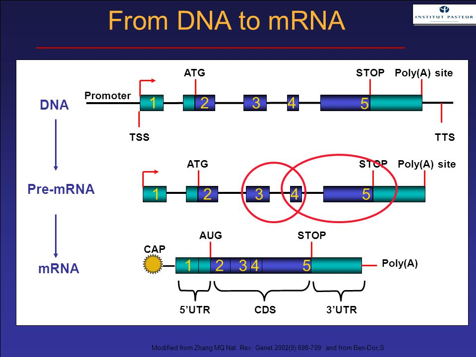 Modified from Zhang MQ Nat. Rev. Genet.2002(9):698-709 and from Ben-Dor,S 1234 5 ATGSTOPPoly(A) site TTSTSS Promoter 12345 ATGSTOPPoly(A) site DNA Pre