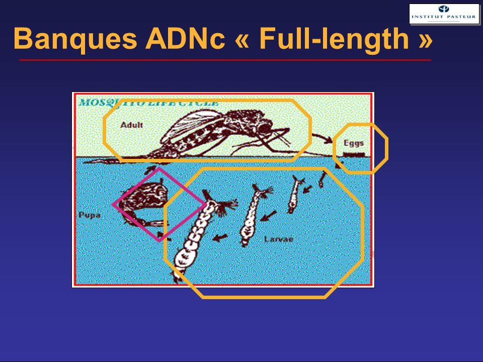 Banques ADNc « Full-length »