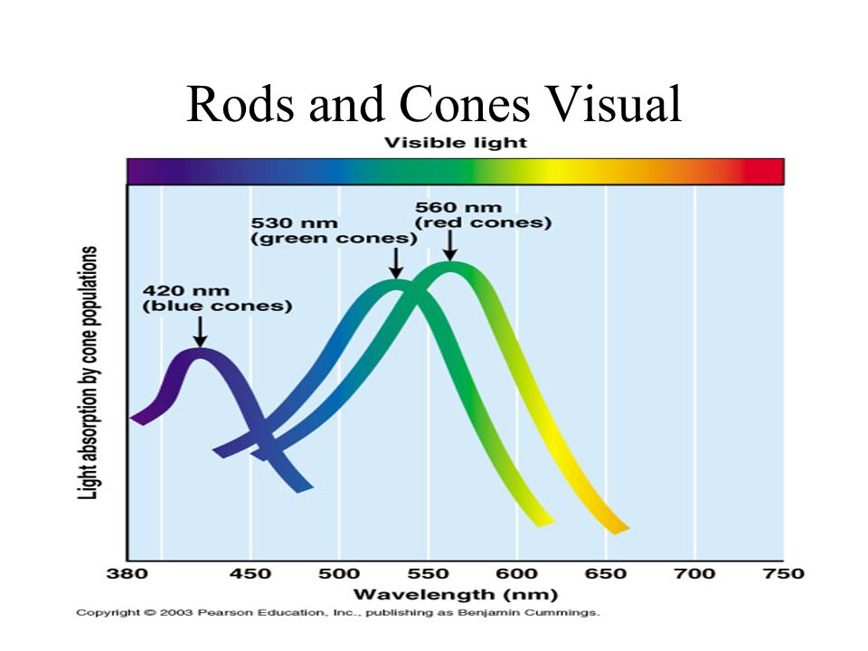 Rods and Cones Visual
