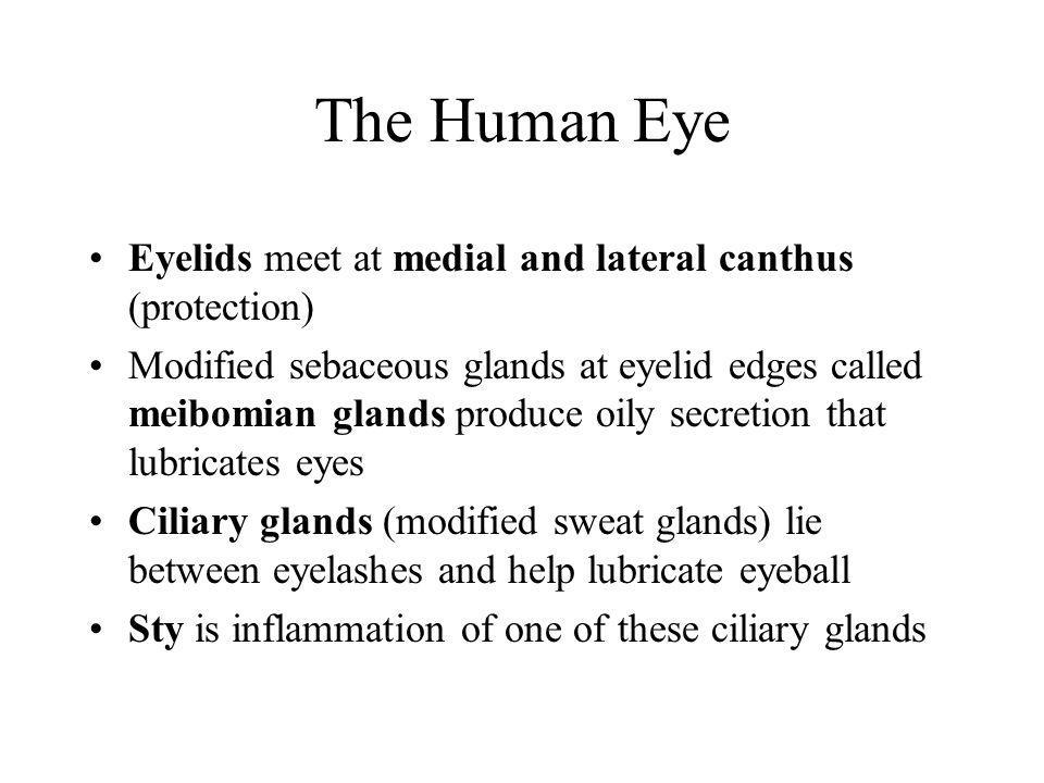 Human Eye, cont.