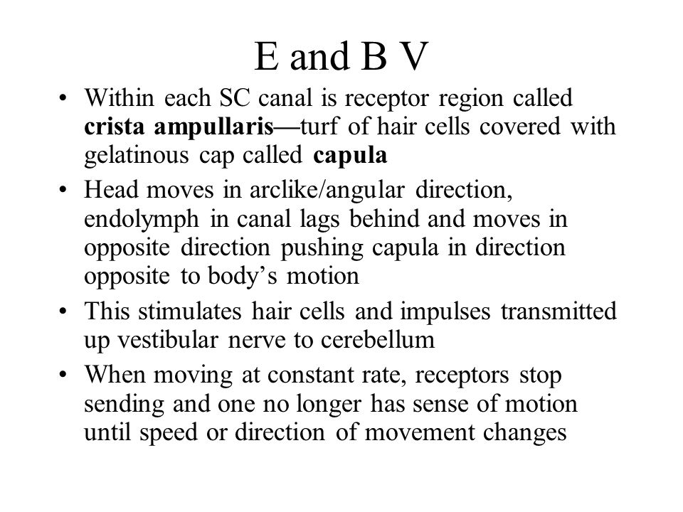 E and B V Within each SC canal is receptor region called crista ampullaris—turf of hair cells covered with gelatinous cap called capula Head moves in