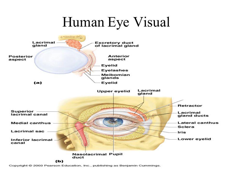 Human Eye Visual II
