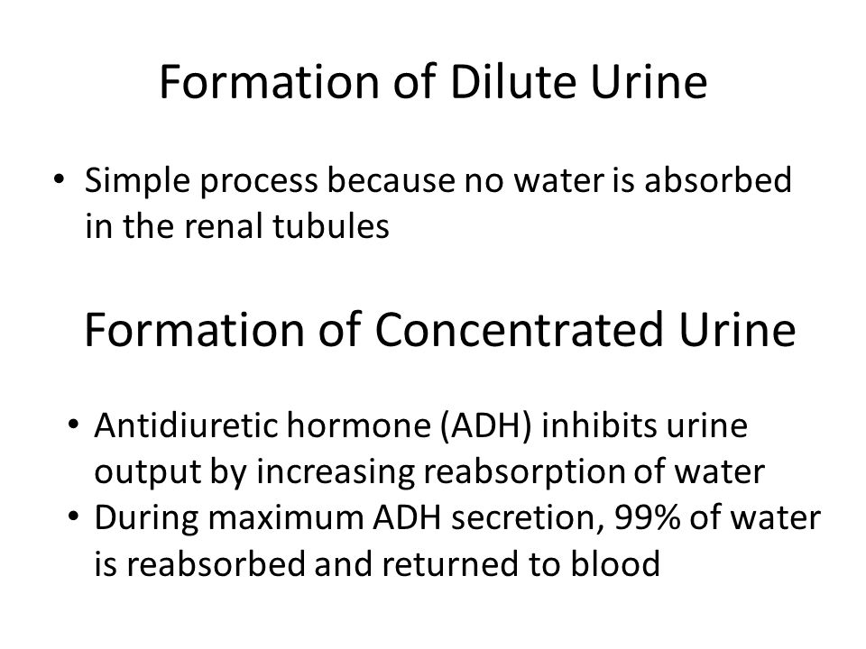 Formation of Dilute Urine Simple process because no water is absorbed in the renal tubules Formation of Concentrated Urine Antidiuretic hormone (ADH)