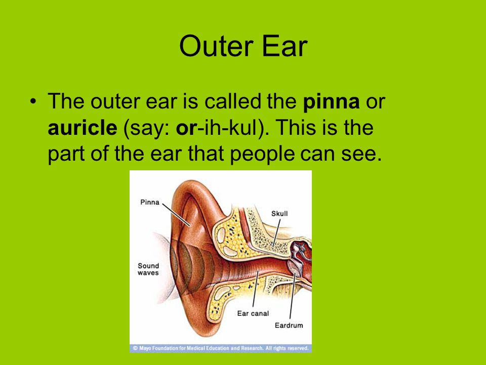 Outer Ear The outer ear is called the pinna or auricle (say: or-ih-kul). This is the part of the ear that people can see.