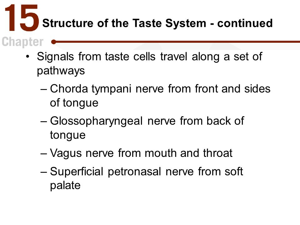 Structure of the Taste System - continued Signals from taste cells travel along a set of pathways –Chorda tympani nerve from front and sides of tongue –Glossopharyngeal nerve from back of tongue –Vagus nerve from mouth and throat –Superficial petronasal nerve from soft palate