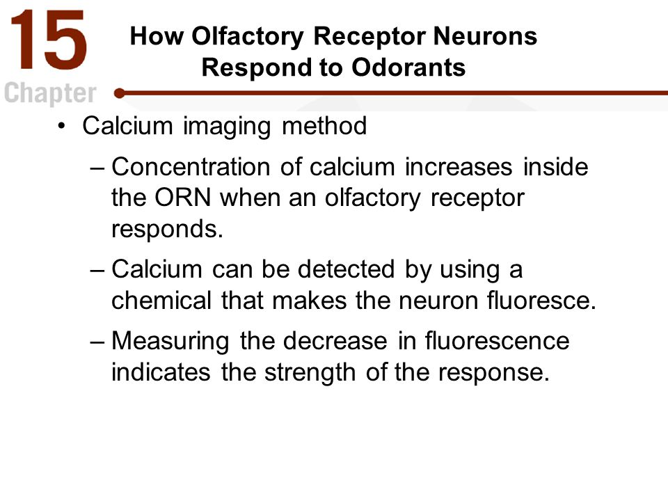 How Olfactory Receptor Neurons Respond to Odorants Calcium imaging method –Concentration of calcium increases inside the ORN when an olfactory receptor responds.