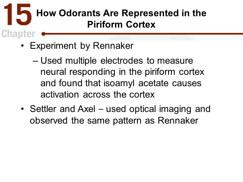 How Odorants Are Represented in the Piriform Cortex Experiment by Rennaker –Used multiple electrodes to measure neural responding in the piriform cortex and found that isoamyl acetate causes activation across the cortex Settler and Axel – used optical imaging and observed the same pattern as Rennaker