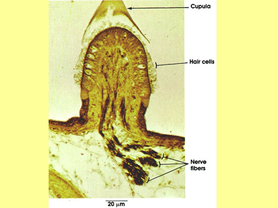 COCHLEA A spiral-shaped, fluid-filled inner ear structure; it is lined with cilia (tiny hairs) that move when vibrated and cause an electrical nerve impulse to form (transduction).