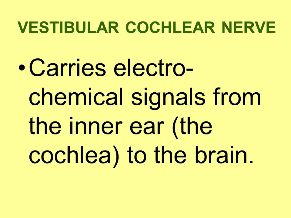 VESTIBULAR COCHLEAR NERVE Carries electro- chemical signals from the inner ear (the cochlea) to the brain.