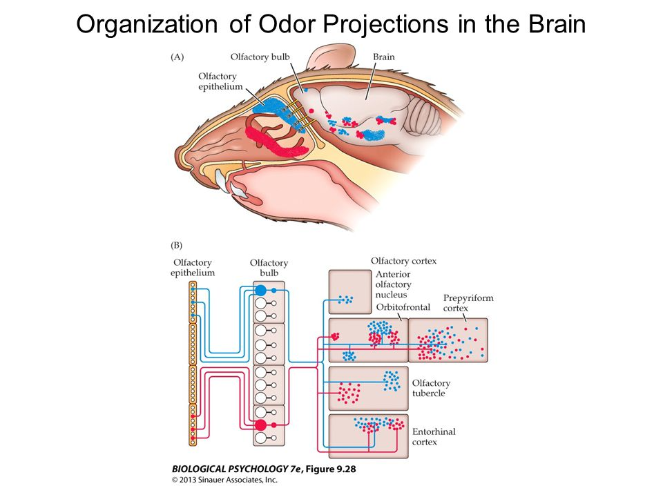 Organization of Odor Projections in the Brain