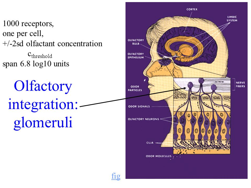 5 Olfactory integration: glomeruli fig 1000 receptors, one per cell, +/-2sd olfactant concentration c threshold span 6.8 log10 units