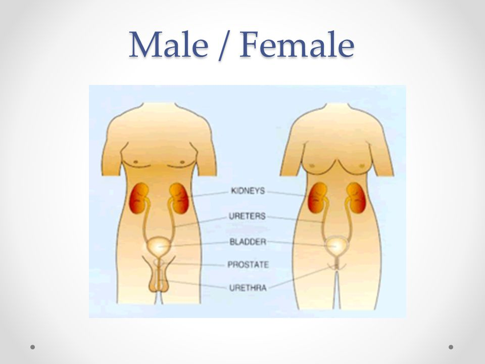 Urinary system MaleFemale Urethra 4 times longer than females.