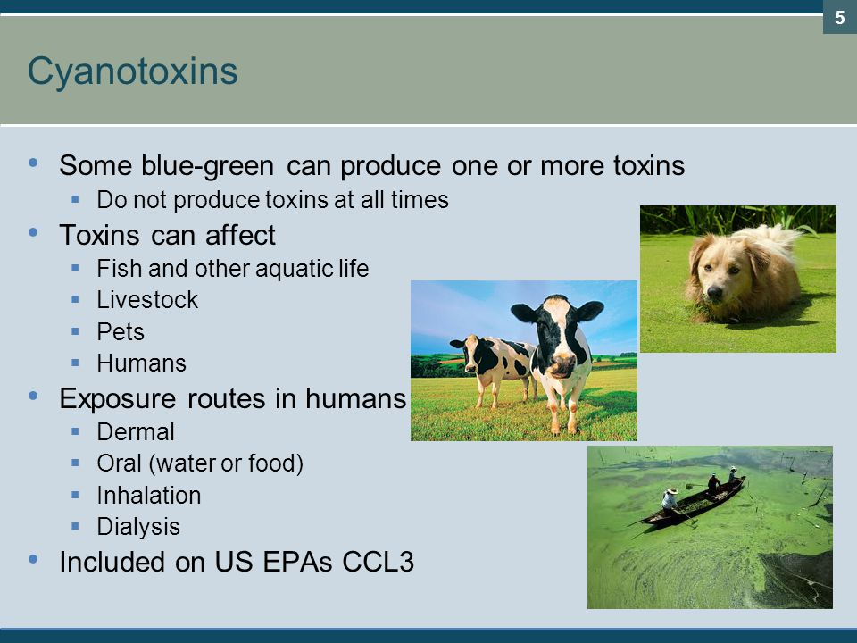 Cyanotoxins Some blue-green can produce one or more toxins  Do not produce toxins at all times Toxins can affect  Fish and other aquatic life  Livestock  Pets  Humans Exposure routes in humans  Dermal  Oral (water or food)  Inhalation  Dialysis Included on US EPAs CCL3 5