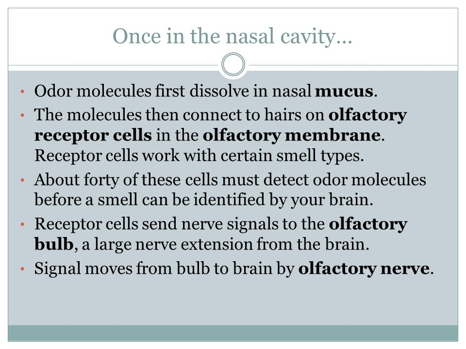 Some vocabulary terms you ought to know...The olfactory membrane is equivalent to the retina.