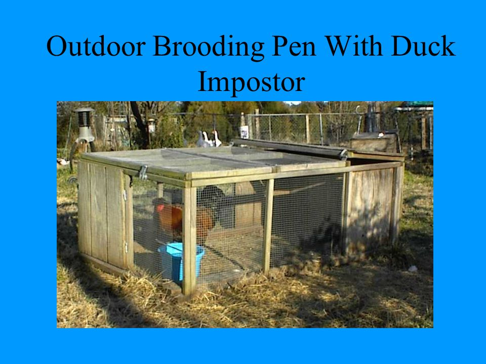 Outdoor Brooding Pen With Duck Impostor