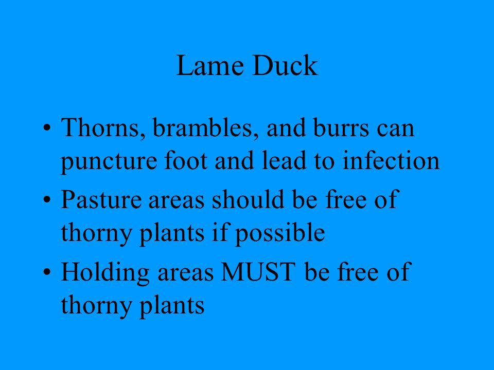 Lame Duck Thorns, brambles, and burrs can puncture foot and lead to infection Pasture areas should be free of thorny plants if possible Holding areas MUST be free of thorny plants