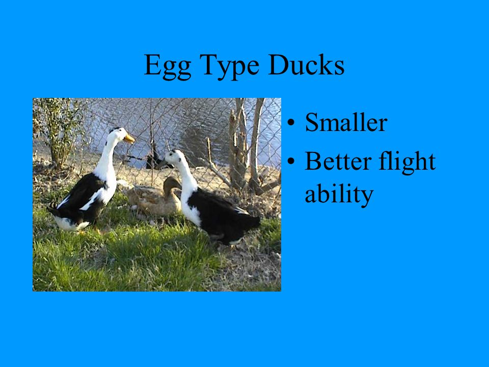 Predators Crows, raccoons and rats will eat duck eggs Hawks will eat duckling and small ducks –Have overhead protection Fox and coyote will prey on ducks –House near a dog at night if possible