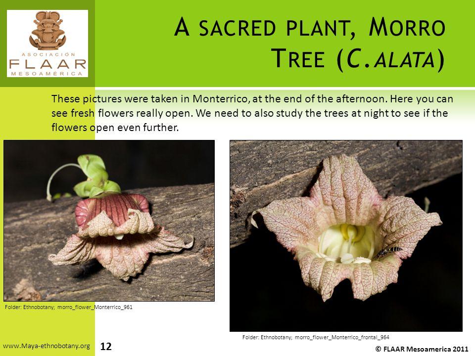 A SACRED PLANT, M ORRO T REE (C.