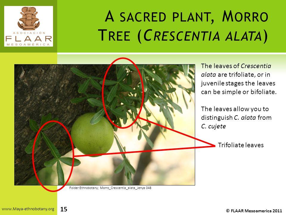 A SACRED PLANT, M ORRO T REE (C RESCENTIA ALATA ) www.Maya-ethnobotany.org © FLAAR Mesoamerica 2011 15 The leaves of Crescentia alata are trifoliate,