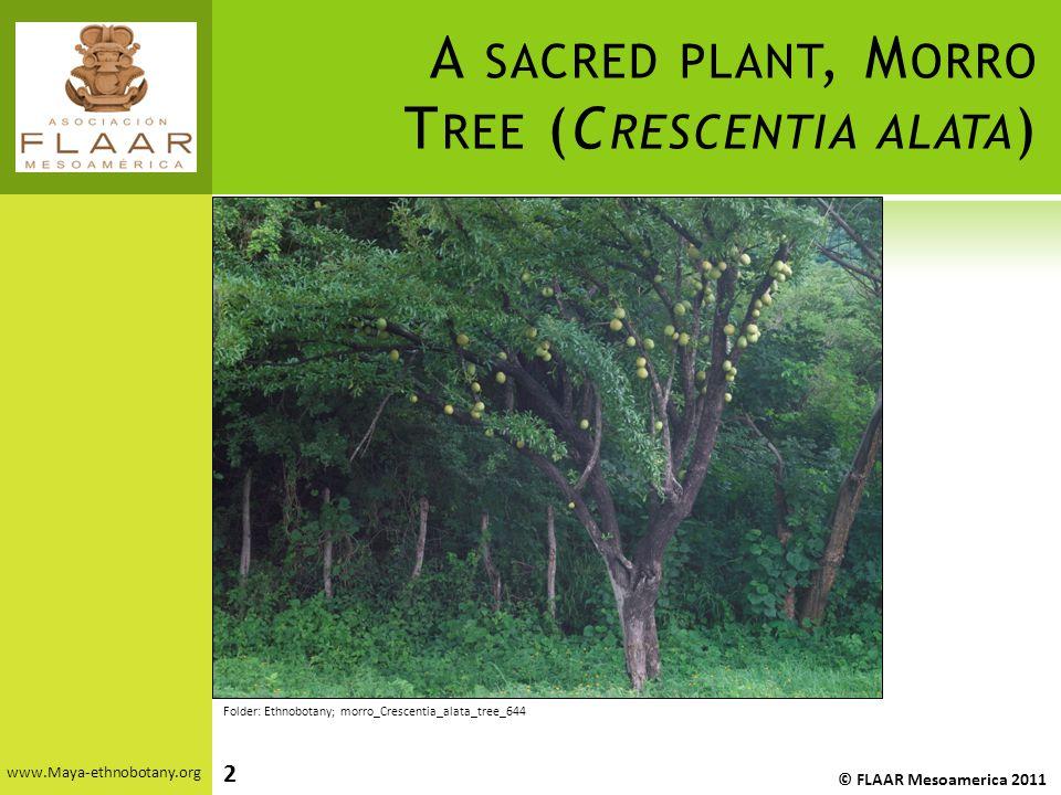 A SACRED PLANT, M ORRO T REE (C RESCENTIA ALATA ) www.Maya-ethnobotany.org © FLAAR Mesoamerica 2011 2 Folder: Ethnobotany; morro_Crescentia_alata_tree_644