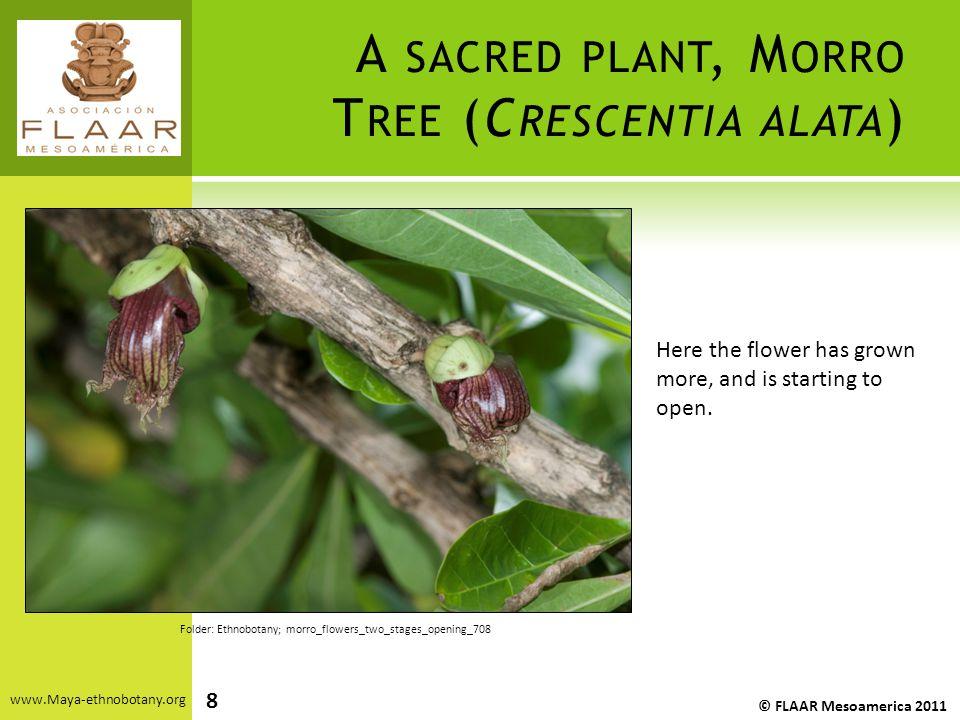 A SACRED PLANT, M ORRO T REE (C RESCENTIA ALATA ) www.Maya-ethnobotany.org © FLAAR Mesoamerica 2011 Folder: Ethnobotany; morro_flowers_two_stages_open