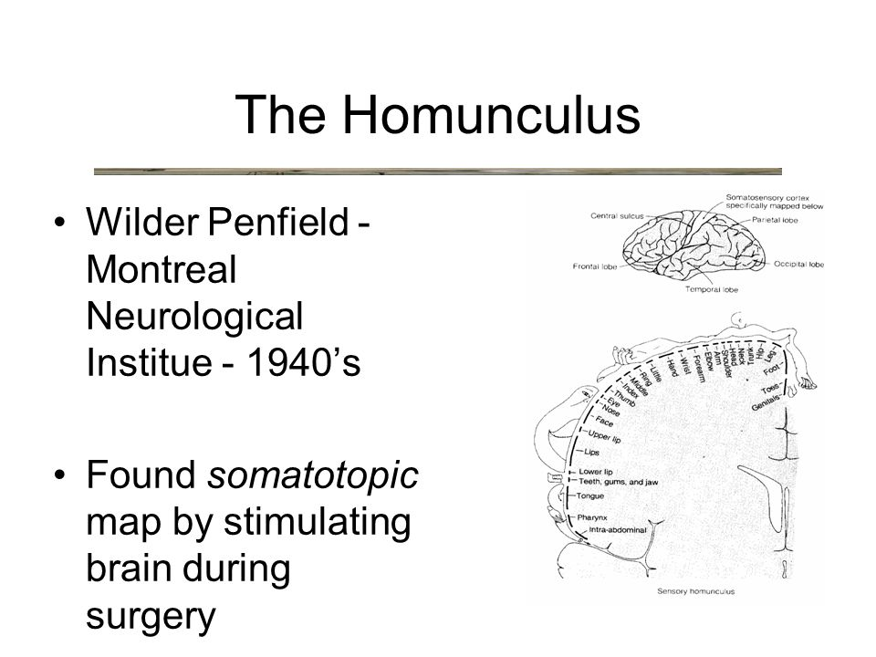 Wilder Penfield - Montreal Neurological Institue - 1940's Found somatotopic map by stimulating brain during surgery The Homunculus