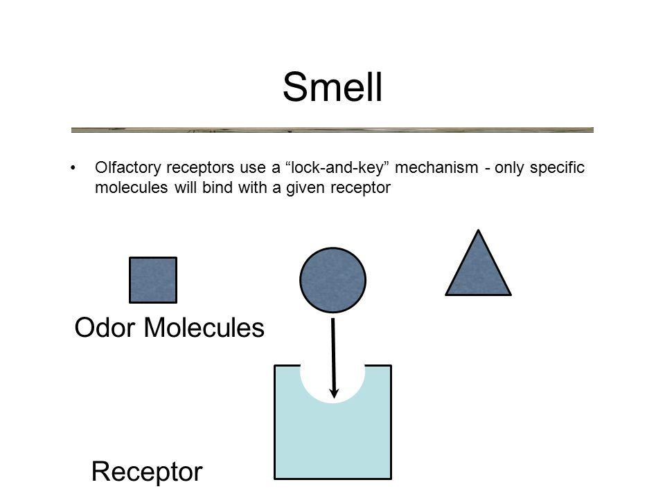 Olfactory receptors use a lock-and-key mechanism - only specific molecules will bind with a given receptor Smell Receptor Odor Molecules