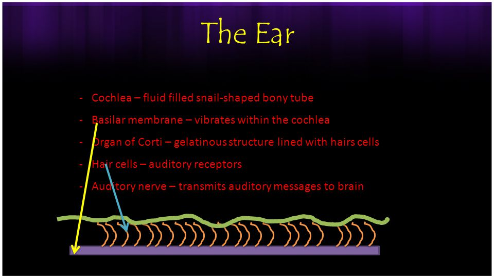 The Ear -Cochlea – fluid filled snail-shaped bony tube -Basilar membrane – vibrates within the cochlea -Organ of Corti – gelatinous structure lined with hairs cells -Hair cells – auditory receptors -Auditory nerve – transmits auditory messages to brain -Perception of pitch is related to wave frequency