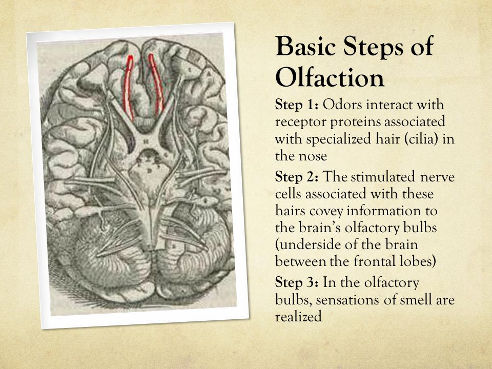 Basic Steps of Olfaction Step 1: Odors interact with receptor proteins associated with specialized hair (cilia) in the nose Step 2: The stimulated nerve cells associated with these hairs covey information to the brain's olfactory bulbs (underside of the brain between the frontal lobes) Step 3: In the olfactory bulbs, sensations of smell are realized