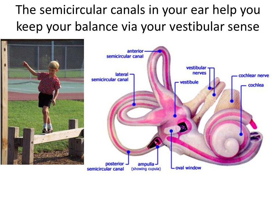 The semicircular canals in your ear help you keep your balance via your vestibular sense