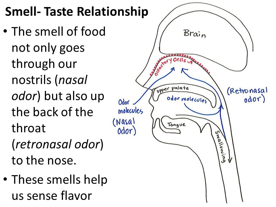 Smell- Taste Relationship The smell of food not only goes through our nostrils (nasal odor) but also up the back of the throat (retronasal odor) to th