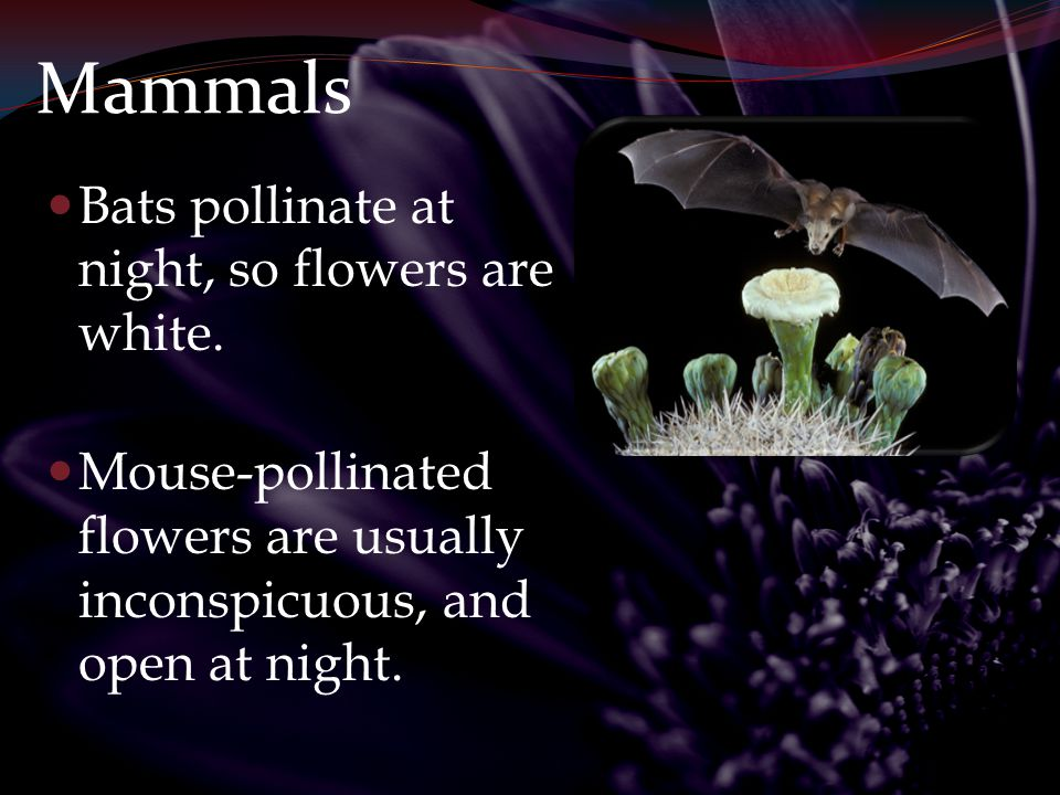 Mammals Bats pollinate at night, so flowers are white.