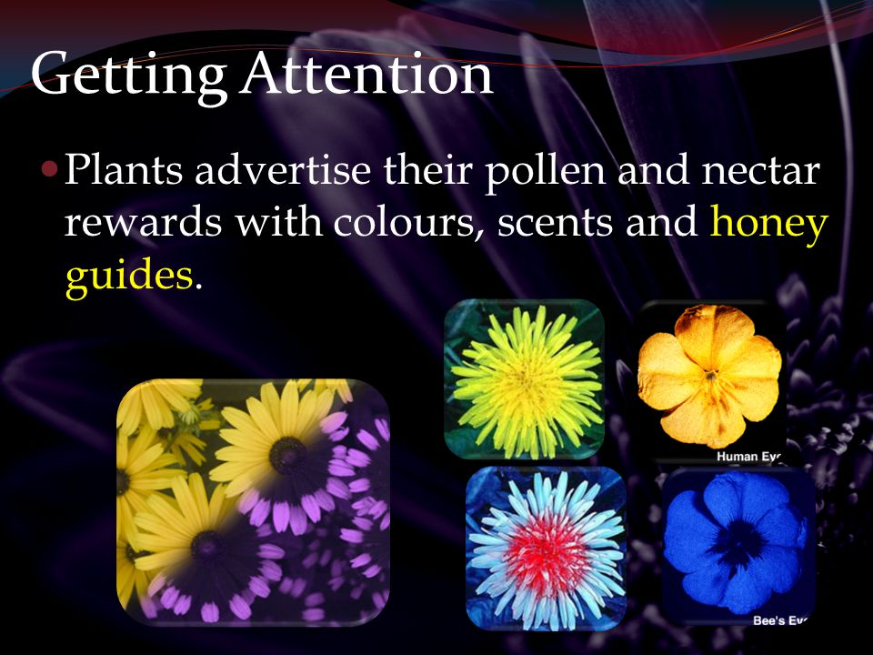 Getting Attention Plants advertise their pollen and nectar rewards with colours, scents and honey guides.