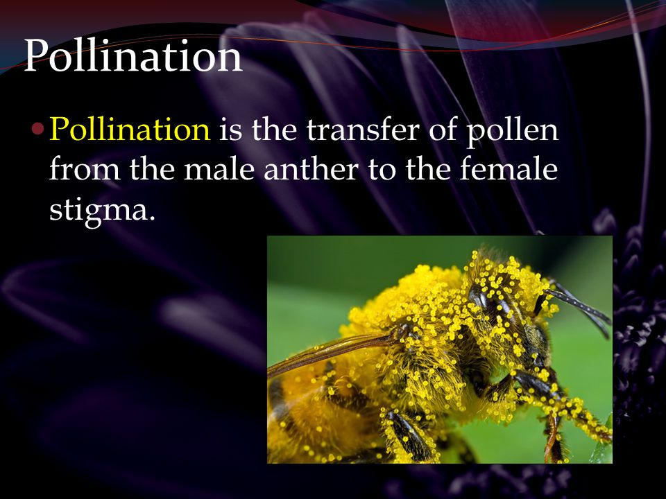 Pollination Pollination is the transfer of pollen from the male anther to the female stigma.