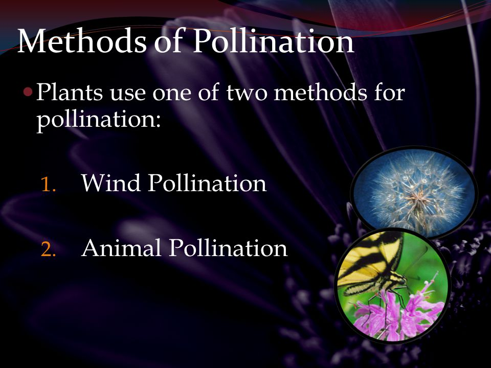 Wind Pollination Gymnosperms and some flowering plants (grasses, trees) use wind pollination.