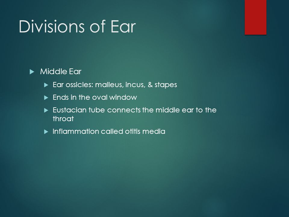 Divisions of Ear  Middle Ear  Ear ossicles: malleus, incus, & stapes  Ends in the oval window  Eustacian tube connects the middle ear to the throat  Inflammation called otitis media