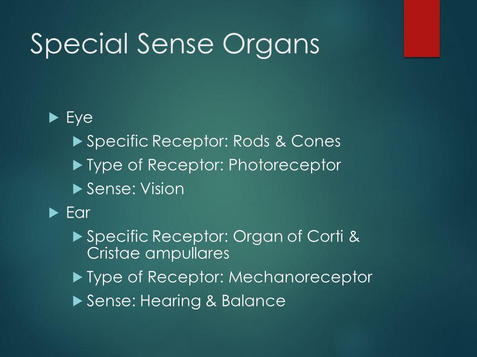 Special Sense Organs  Eye  Specific Receptor: Rods & Cones  Type of Receptor: Photoreceptor  Sense: Vision  Ear  Specific Receptor: Organ of Cor
